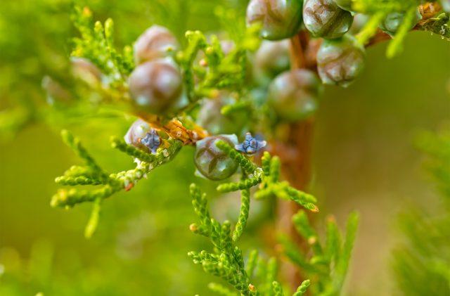 Junger Zweig des sardischen Wacholders mit Beeren