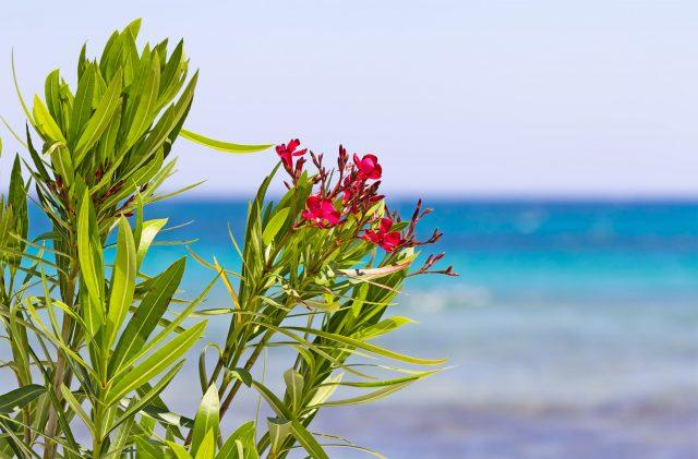 Oleanderblumen vor dem Meer, in Sardinien