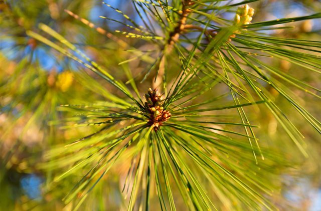 Green pine needles in Sardinia