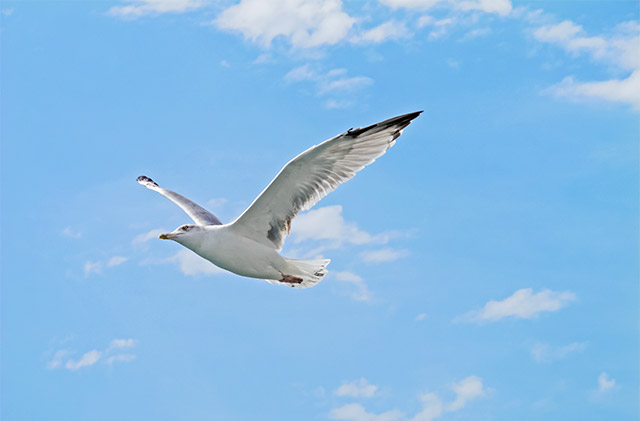 Seagull in flight in the Cala Ginepro sky