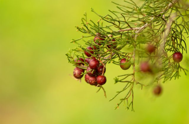 Red juniper berries