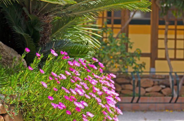 Fiori rosa al Camping Cala Ginepro